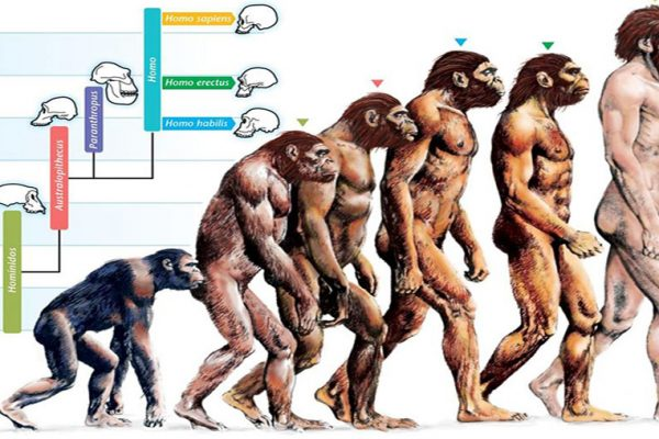 Evolution des homininés